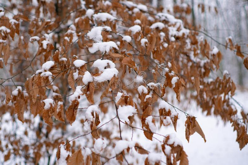 Snowing winter concept. Winter forest. Images for winter. Season of Winter. Global cooling. royalty free stock photography
