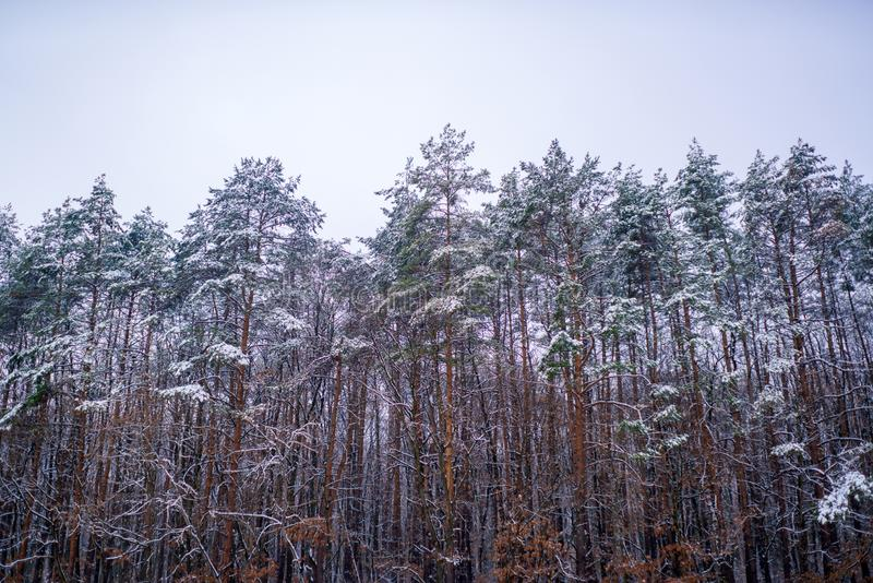 Snowing winter concept. Winter forest. Images for winter. Season of Winter. Global cooling. stock photography