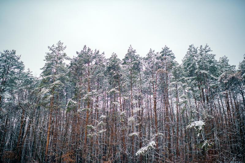 Snowing winter concept. Winter forest. Images for winter. Season of Winter. Global cooling. stock photo