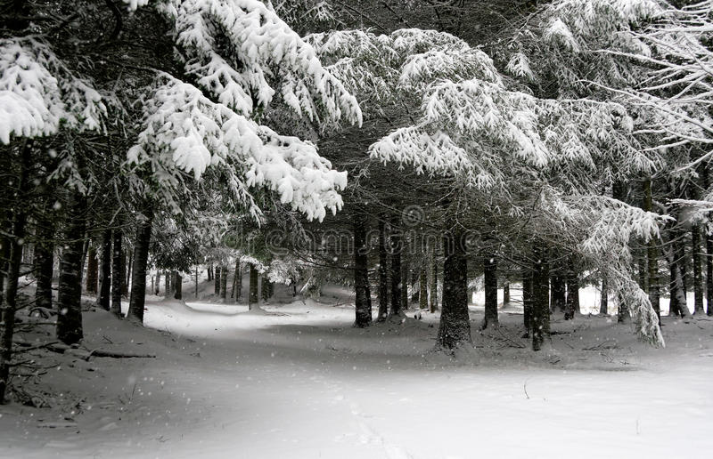 Snowing in the woods royalty free stock image