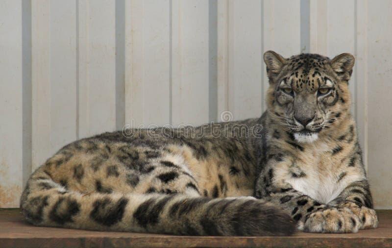 Snowleopard arkivfoton
