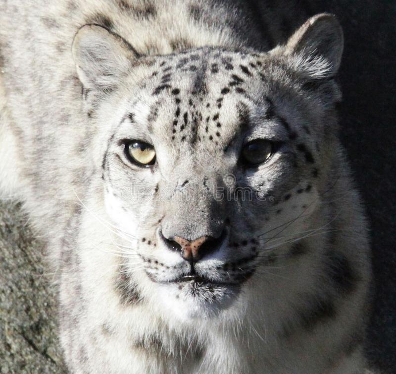 Snowlepard fotos de stock royalty free