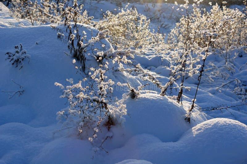 Snowly arbustos em Sibéria imagens de stock royalty free