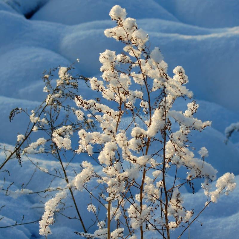 Snowly arbustos em Sibéria imagens de stock