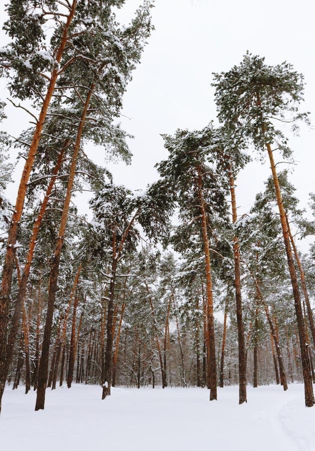 Snowly europenian skog royaltyfri foto