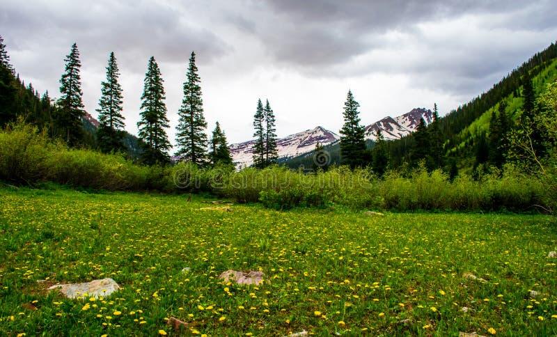 Snowmass κίτρινο μπιζελιών άγριο λουλουδιών λιβάδι βουνών τομέων δύσκολο στοκ εικόνες με δικαίωμα ελεύθερης χρήσης