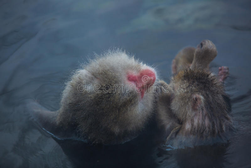 Snowmonkey, singe de neige en eau chaude chez Jigokudani Onsen dans le Naga photos stock