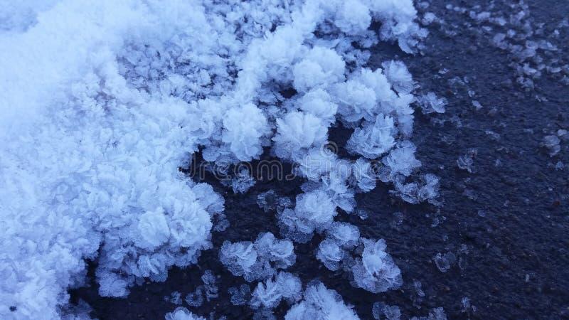 Snowroses fotografia de stock