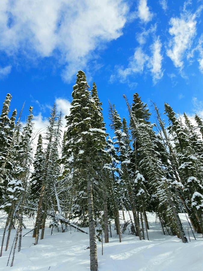 Snowscene con los pinos imagen de archivo libre de regalías