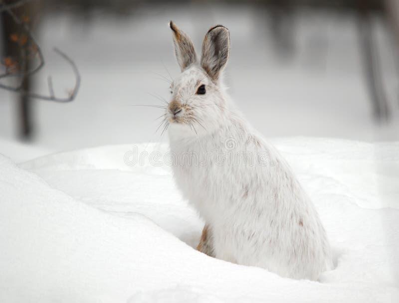 snowshoe зайцев стоковая фотография