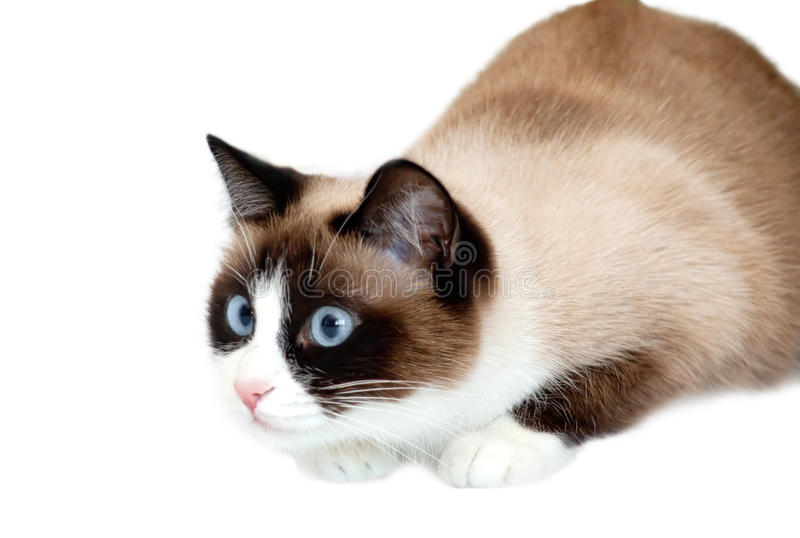 Snowshoe cat going to attack, isolated on white background royalty free stock photo