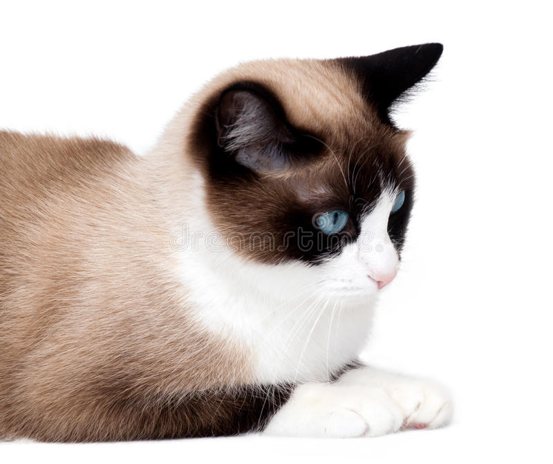 Snowshoe cat, a new breed originating in the USA, isolated on white background royalty free stock images