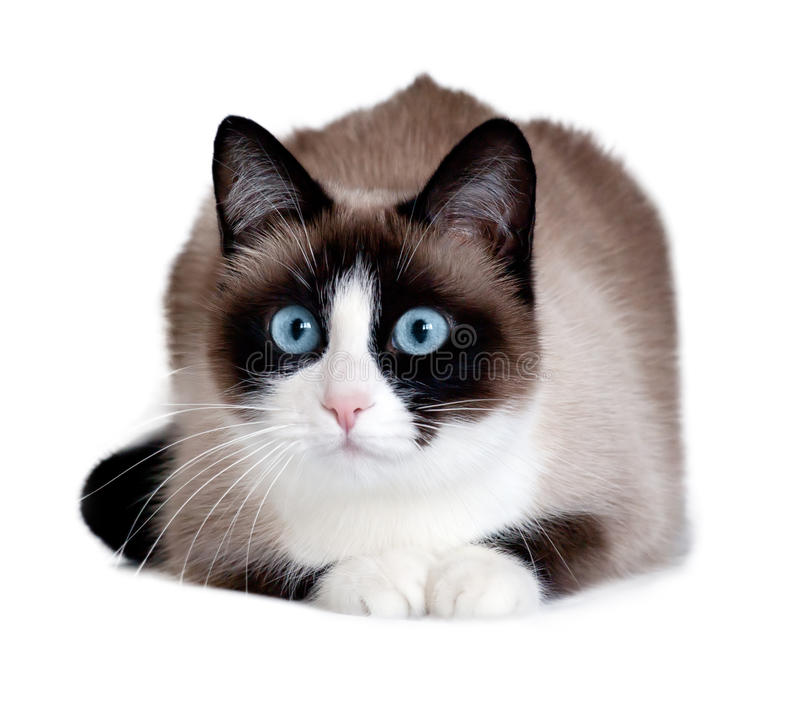 Snowshoe cat, a new breed originating in the USA, isolated on white background stock images
