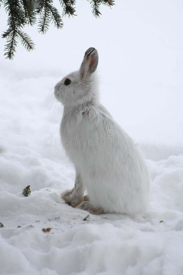 Download Snowshoe Hare stock photo. Image of nature, plant, tree - 17780198