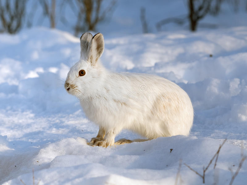 Snowshoe Hare Stock Photo Image Of Easter Hare Varying