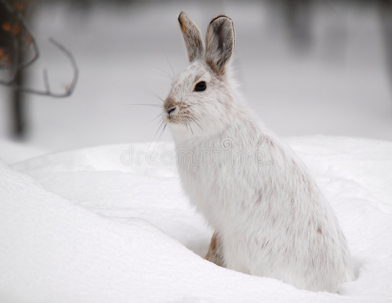 Download Snowshoe Hare stock photo. Image of mammal, white, fields - 4449538
