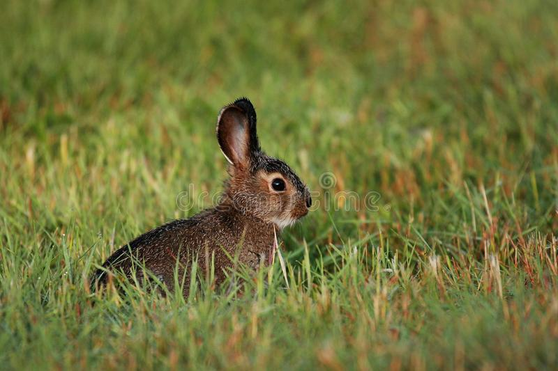 Snowshoe hare baby in Alaska royalty free stock image