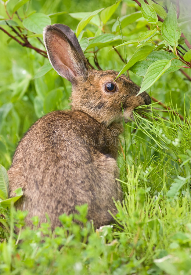 Download Snowshoe Hare Feeding On Grass Stock Image - Image: 7840301