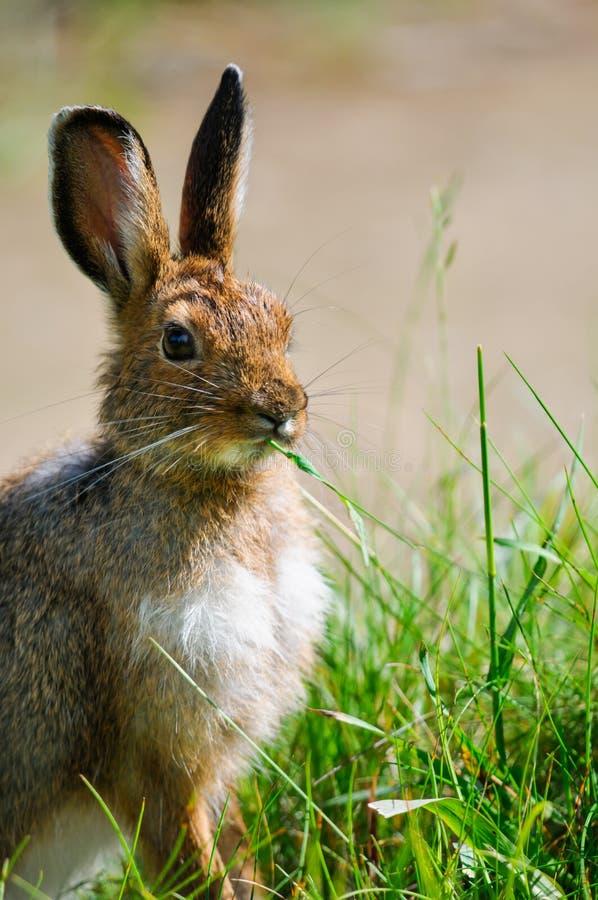 Free Snowshoe Hare (Lepus Americanus) Royalty Free Stock Images - 33298189