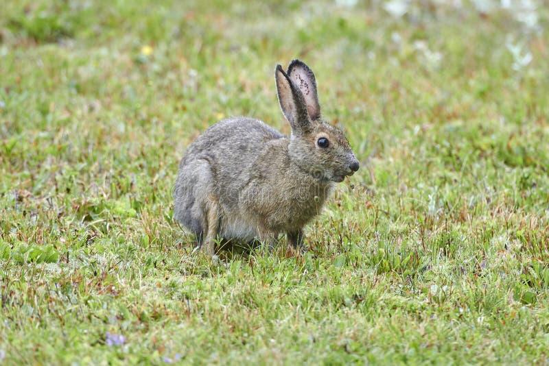 Snowshoe Hare Lepus americanus i sommarrock arkivfoto