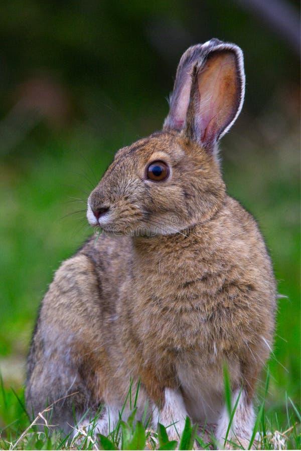 Snowshoe Hare Lepus americanus portrait stock photo