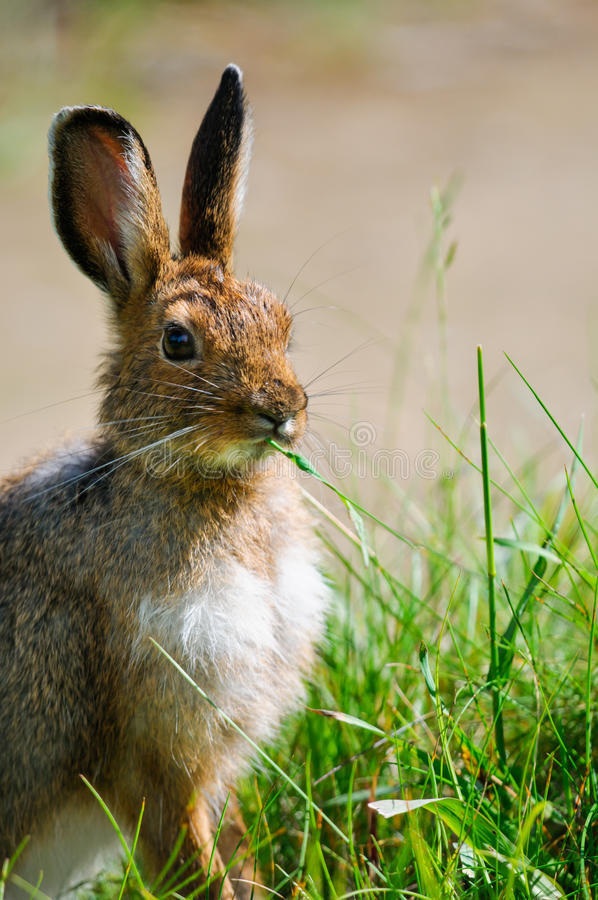 Snowshoe Hare (Lepus americanus) royalty free stock images