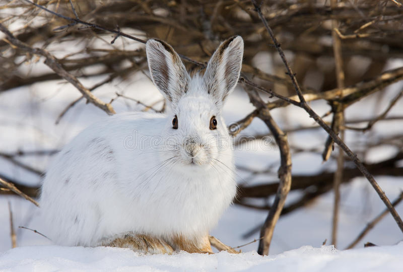 Snowshoe hare or Varying hare (Lepus americanus) sitting in the snow in winter in Canada stock images