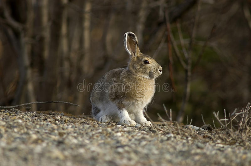 Snowshoe Hare Portrait. A portrait of a Snowshoe Hare in Summer color royalty free stock photography