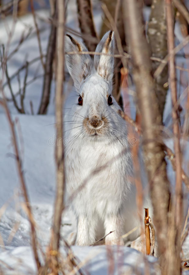 Download Snowshoe Hare stock photo. Image of hare, white, snow - 30340254