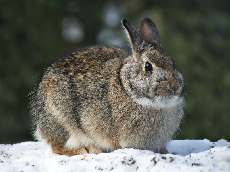 Snowshoe Hare Rabbit - Lepus americanus - on snow in winter royalty free stock image