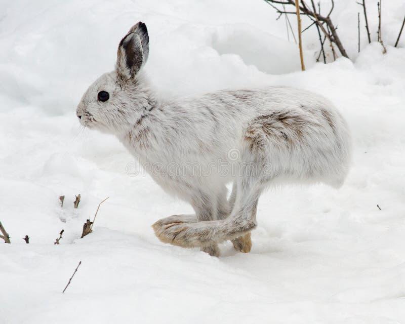 Snowshoe hare running royalty free stock photos