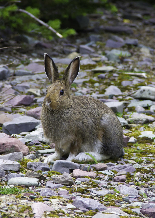 Download Snowshoe Hare Royalty Free Stock Photo - Image: 30086815