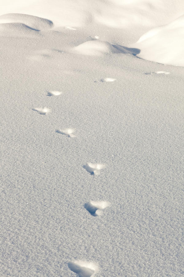 Snowshoe hare tracks in the snow royalty free stock photography