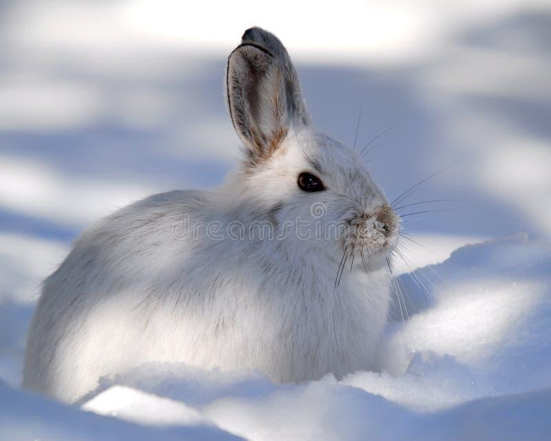 Snowshoe-Hasen stockfotos