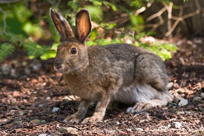 Snowshoe-Hasen auf dem Waldfußboden lizenzfreie stockfotos