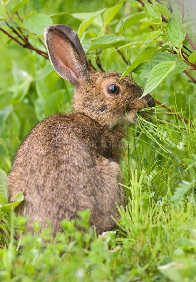 Snowshoe-Hasen, die auf Gras speisen stockbild