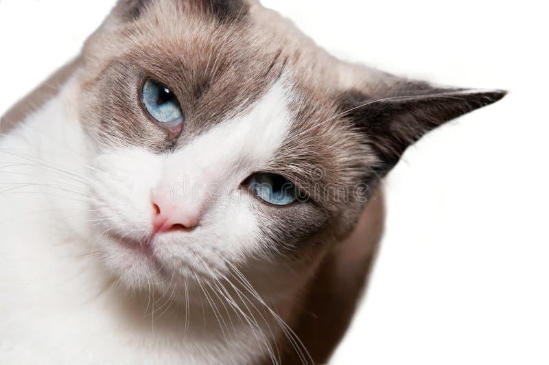 Snowshoe-Katze lizenzfreies stockbild