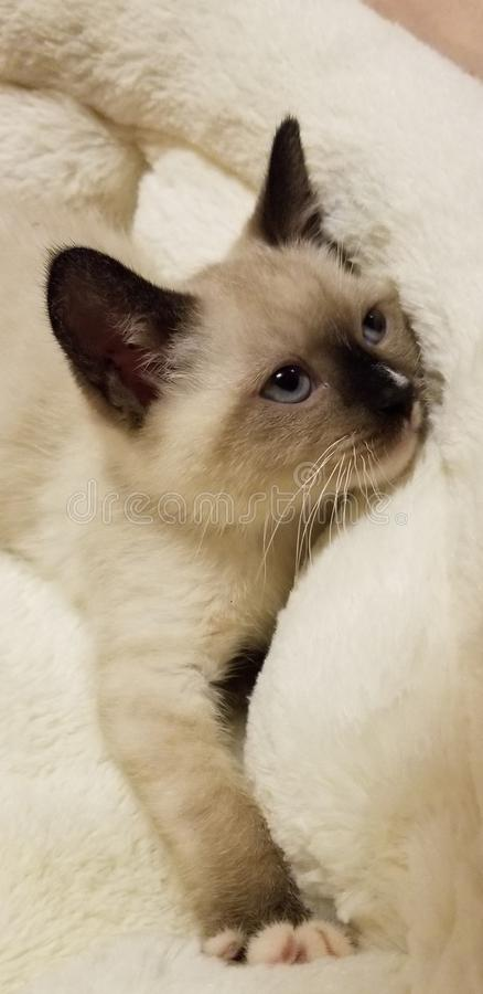Snowshoe kitten in bed siamese cat. Snowshoe kitten siamese cat stock photos