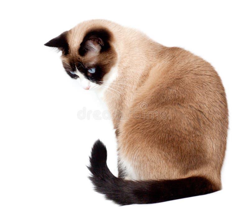 Snowshoe kota obsiadanie i patrzeć w dół, odizolowywający na białym tle obraz stock