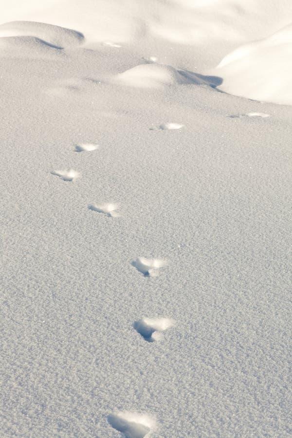 Snowshoehasespuren im Schnee lizenzfreie stockfotografie