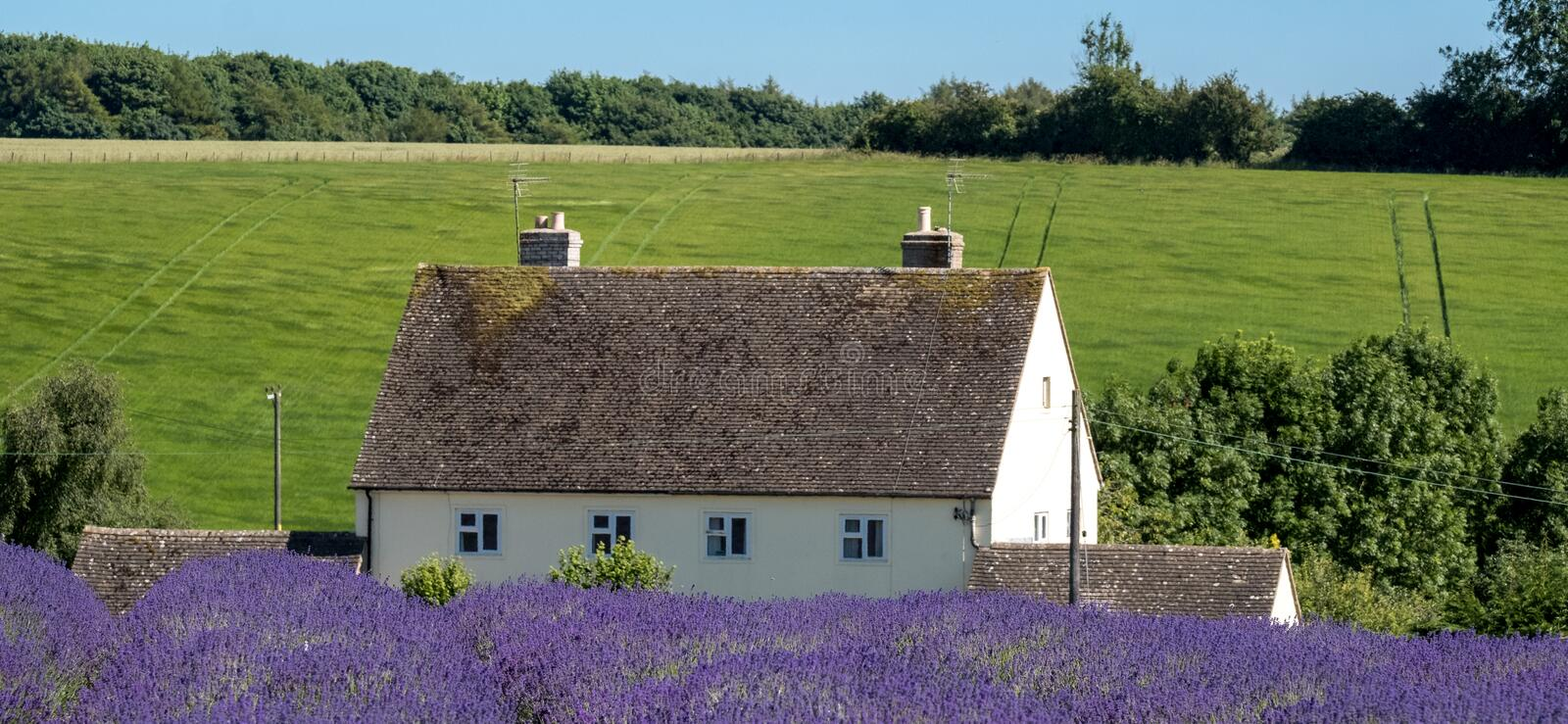 Rural English landscape with white house overlooking lavender fields on a flower farm in the Cotswolds. Green hill behind. stock photo