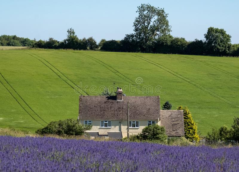 Rural English landscape with white house overlooking lavender fields on a flower farm in the Cotswolds. Green hill behind. Snowsill, Worcestershire UK. Rural royalty free stock image