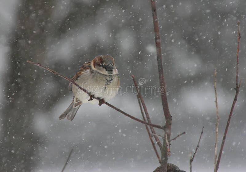 snowsparrowstorm royaltyfria foton