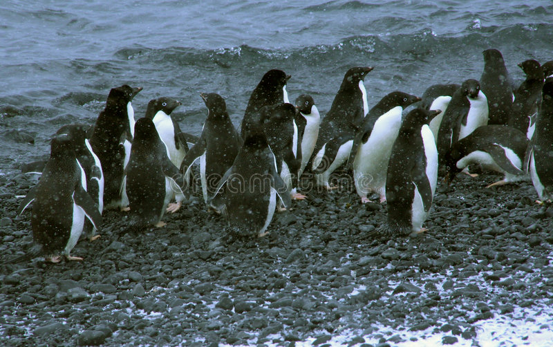 Snowstorm, large group of Adelie penguins stock photos
