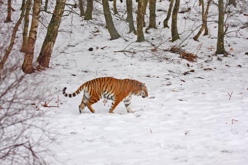 snowtiger arkivfoto