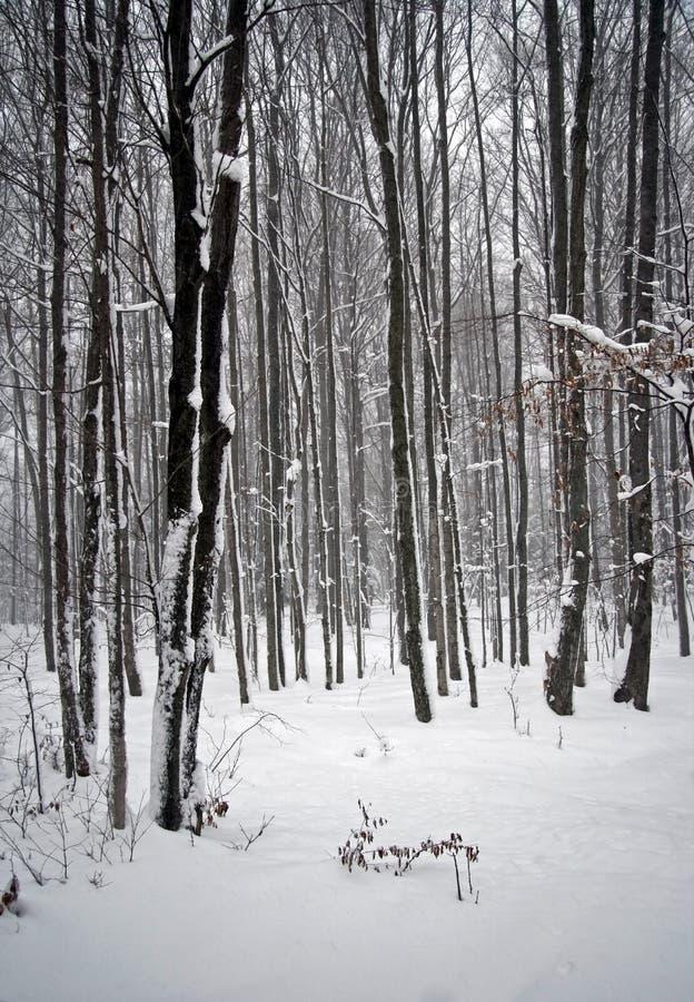 snowtreesvinter arkivbild