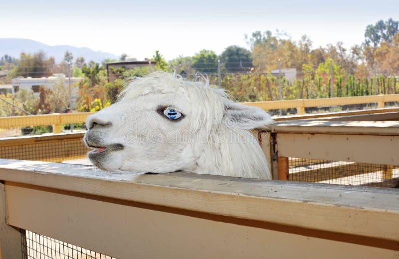 Snowwhite llama stock photo