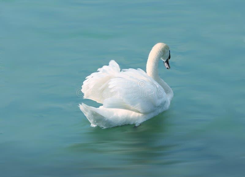 Snowwhite swan at the blue lake stock image