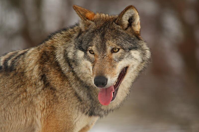 snowwolf arkivbild