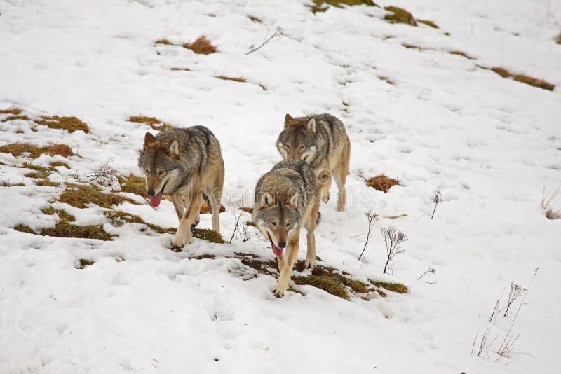 snowwolf fotografering för bildbyråer